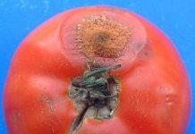 Plagas Enfermedades tomate