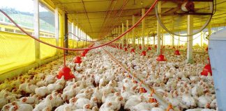 Manual de Producción Avícola
