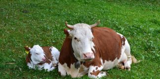 Vaca y Cría