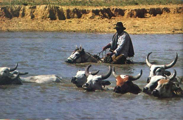Vadeo. Transporte de ganado